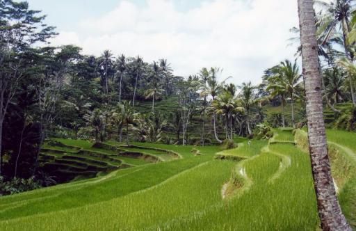 Les rizières à Bali